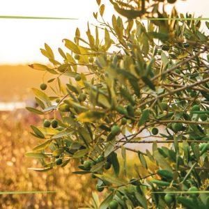 Un anno con l'olivo: dal risveglio alla molitura