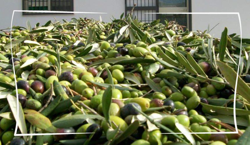 """L'oliva Coratina: il """"brutto anatroccolo"""" delle cultivar di olivo da olio"""